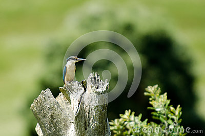 Sacred kingfisher bird in New Zealand