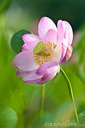 Sacred lotus flower living fossil (close up)