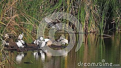 Sacro Ibis, threskiornis aethiopica, gruppo in piedi presso il bacino idrografico, Adulto in volo, atterraggio, parco di Nairobi  video d archivio