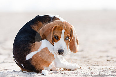 Sad beagle puppy