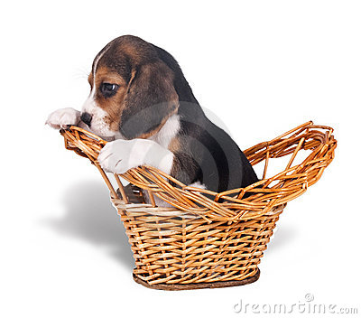 Sad beagle puppy in the basket