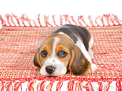Sad Beagle puppy lying on red carpet