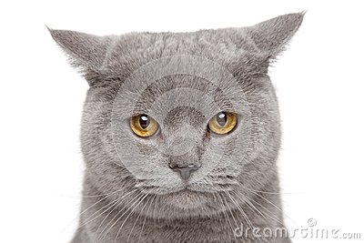 Sad British Shorthair cat