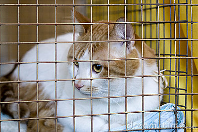 Sad cat breeds bobtail in a cage