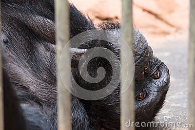 Sad chimpanzee  in cage
