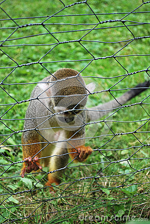 Sad common squirrel monkey