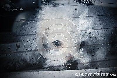 Sad dog locked inside car