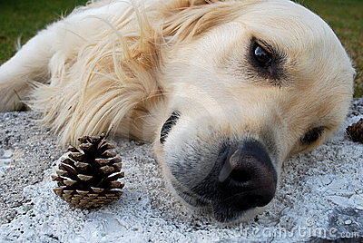 Sad dog and pinecone