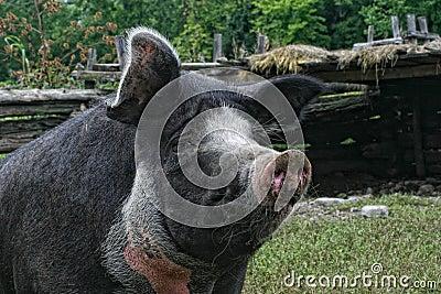 Sad Fat Pig