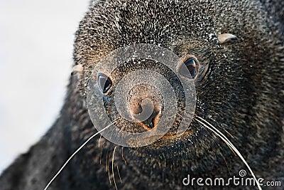 Sad Fur Seal