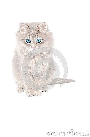 Sad grey kitten