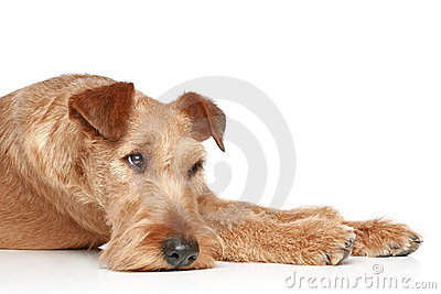 Sad Irish terrier