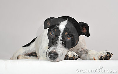 Sad jack russel terrier