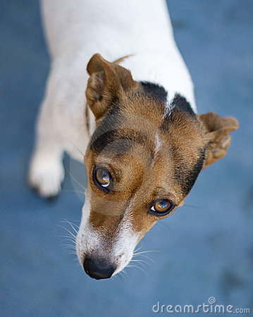 Free Sad Looking Jack Russel Dog Royalty Free Stock Photography - 19752027