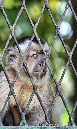 Free Sad Monkey In Cage Royalty Free Stock Image - 132640316