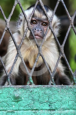 Free Sad Monkey In Cage Wallpaper Royalty Free Stock Photography - 103206217