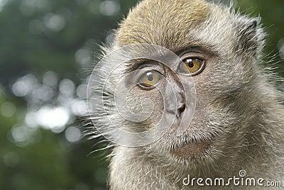 Sad monkey portrait