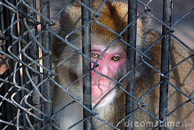 Sad monkey sitting in prison