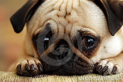 Sad Pug Puppy Stock Photo - Image: 5056680