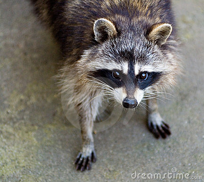 Sad Raccoon Stock Image - Image: 21298301