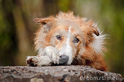 Sad red border collie
