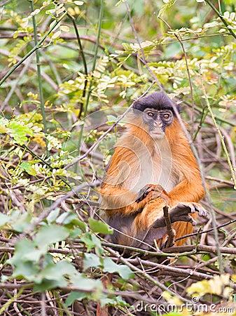 A sad Western Red Colobus monkey