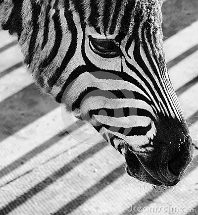 Sad zebra face