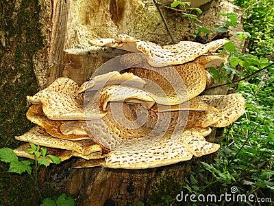 Saddle mushroom