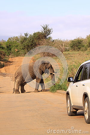 Safari drive elephant