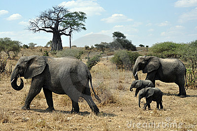 Safari with elephants and baobab