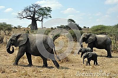 Safari with elephants and baobab