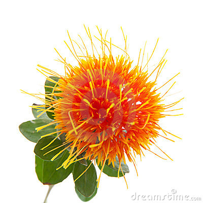 Free Safflower Royalty Free Stock Image - 20052226