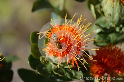 Safflower Blossom with bee