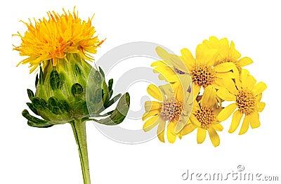 Safflower och guld- ullbeklädnad