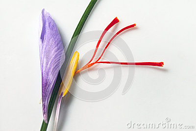 Saffron Crocus Flower Parts