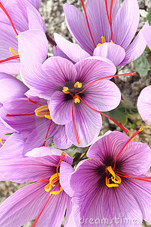 Free Saffron Crocus Flowers Royalty Free Stock Photo - 21829635