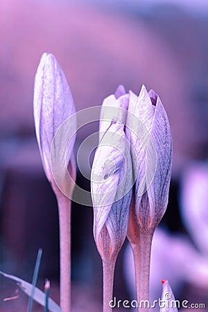 Free Saffron Flowers Crocus Speciosus Stock Photos - 111644083