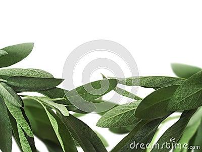 Sage background