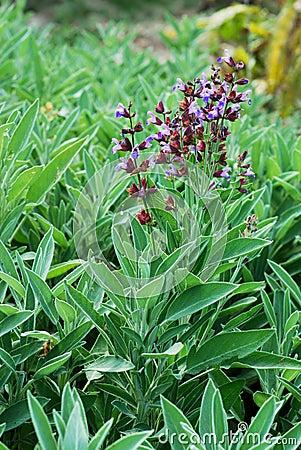 Free Sage Bush Royalty Free Stock Image - 10095766