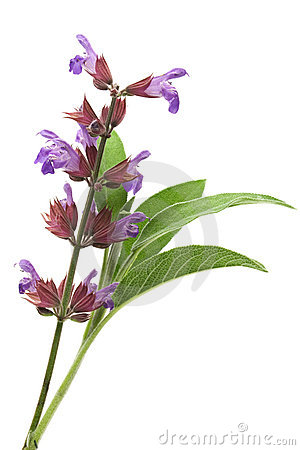 Free Sage Flowers And Leafs Royalty Free Stock Photo - 5209085