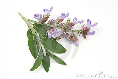 Sage leafs and flowers
