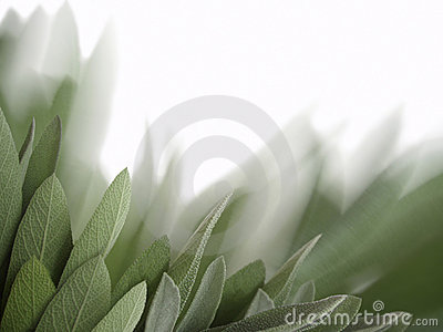 Sage leaves background