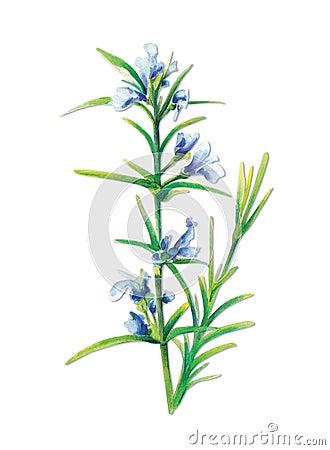 Sage-Salvia officinalis