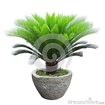 Free Sago Cycad Tree Stock Photo - 25044730