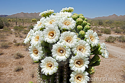 Did I just see that? - Page 2 Saguaro-blossom-18212361