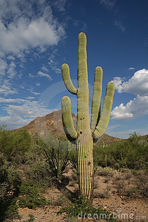 Free Saguaro Cactus Stock Photos - 1008723