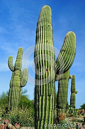 Free Saguaro Cactus Royalty Free Stock Image - 15731346