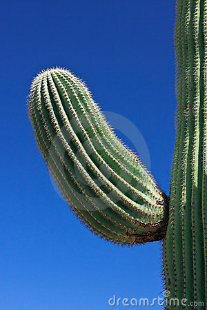Free Saguaro Cactus Royalty Free Stock Photo - 18925575