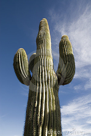 Free Saguaro Cactus Arizona Stock Photos - 1864803