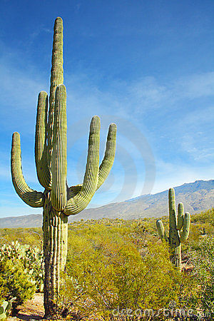 Saguaro Cactus at Arizona Desert